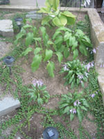 Three types of hostas selected for their inter-harmony bring interest to shady spaces